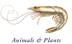 Animals & Plants; Engraving style pena and ink illustration of a shrimp for packaging